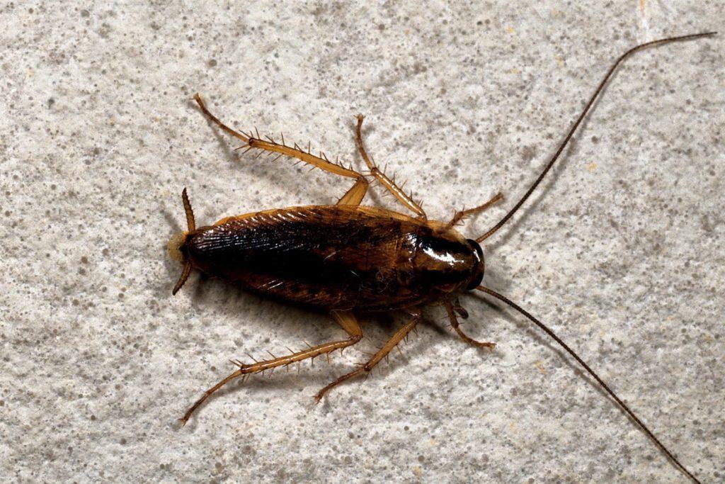 Как выглядят маленькие тараканы в квартире вблизи