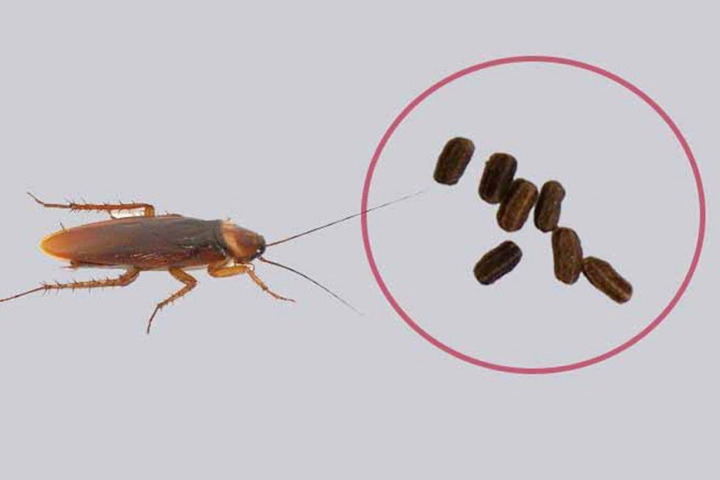 Какашки тараканов взрослая особь