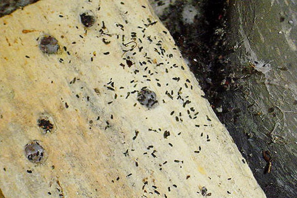 Какашки тараканов нимфа