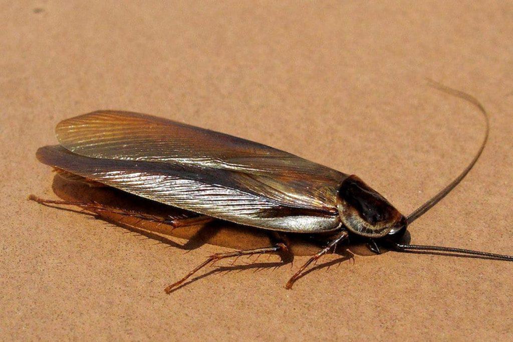 Летают ли тараканы или нет внешний вид
