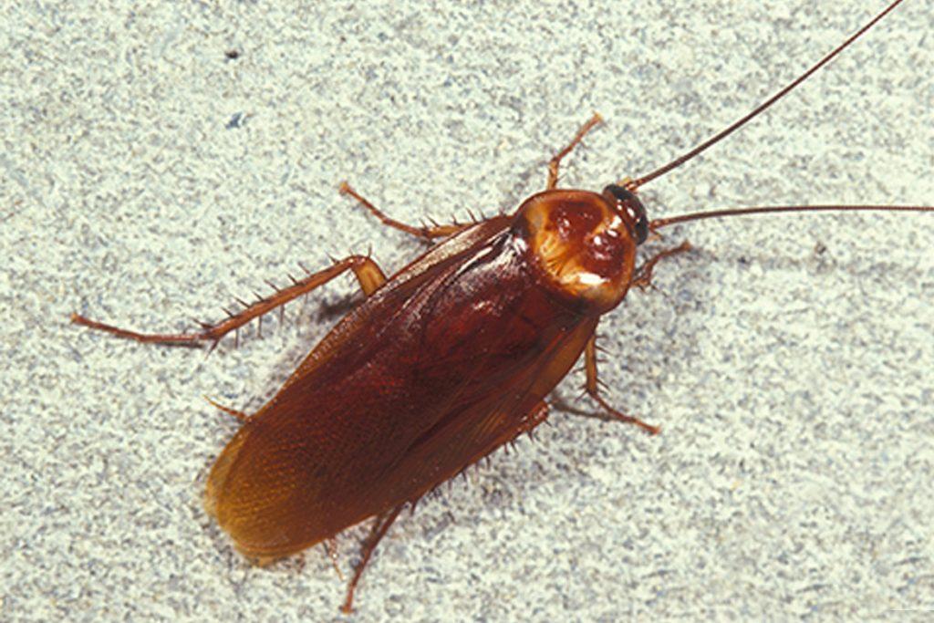 Летают ли тараканы или нет виды тараканов