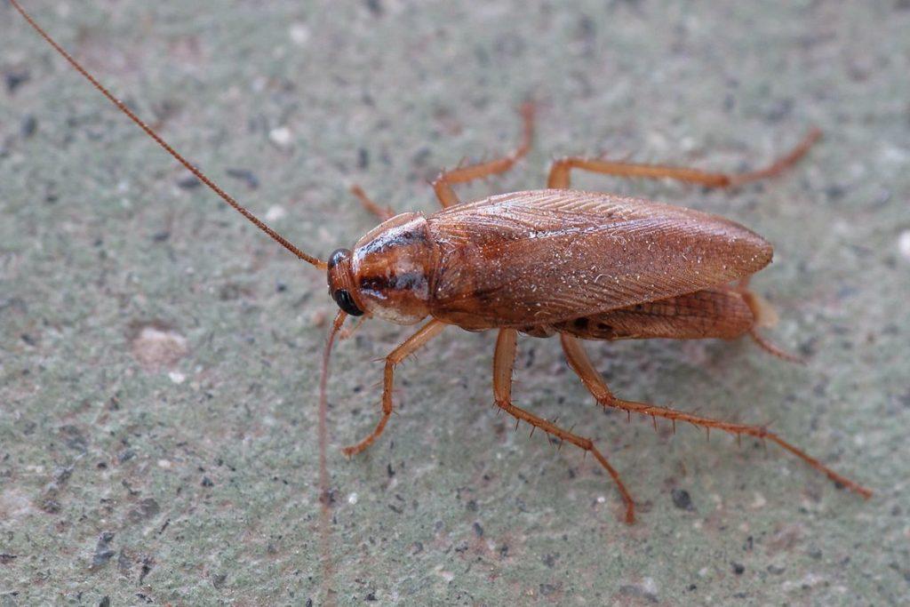 Летают ли тараканы или нет рыжий таракан прусак