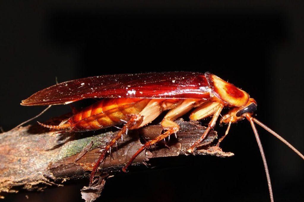 Летают ли тараканы или нет азиатский таракан