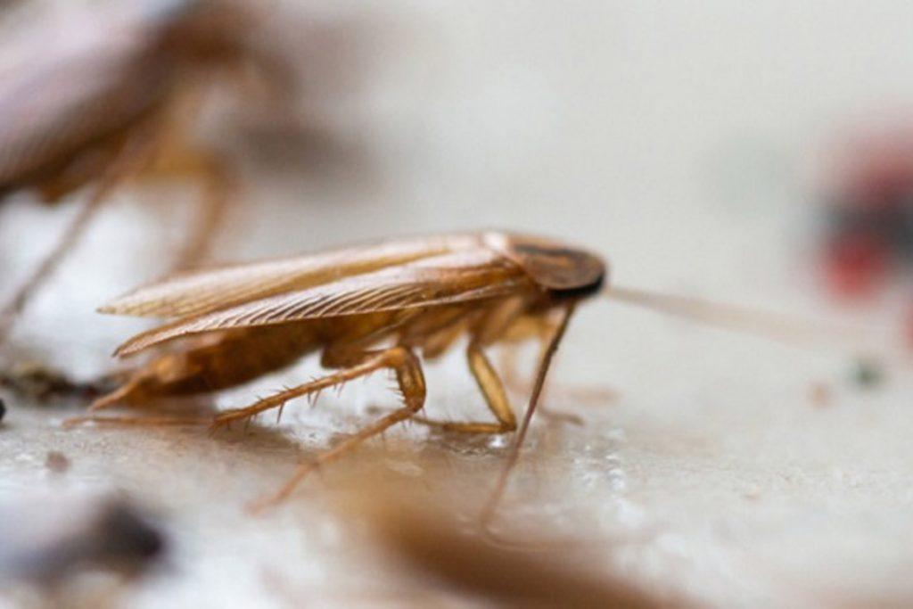Летают ли тараканы или нет поиск дома