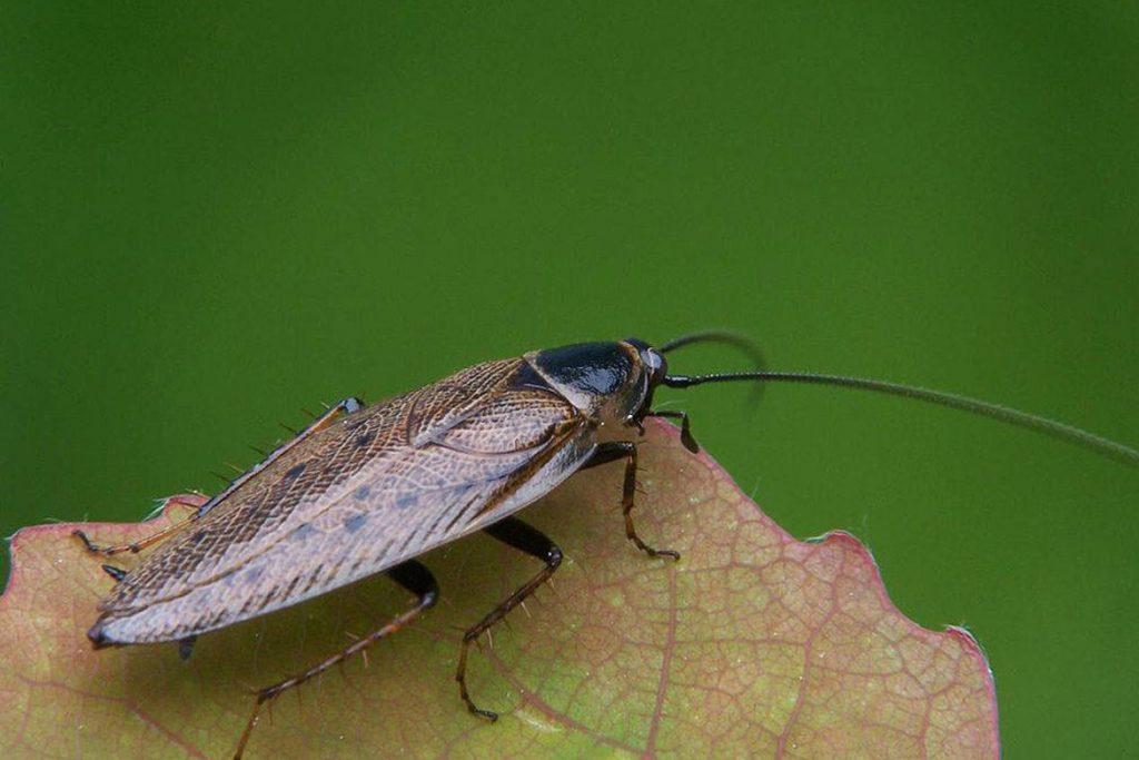 Летают ли тараканы или нет поиск новых сытных мест