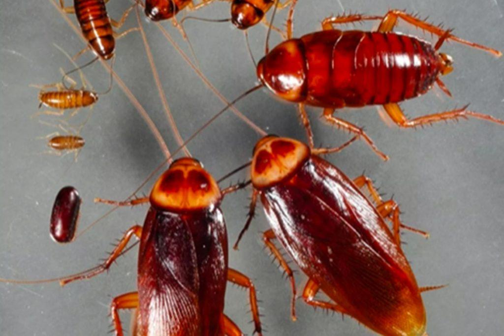 Летают ли тараканы или нет брачные игры
