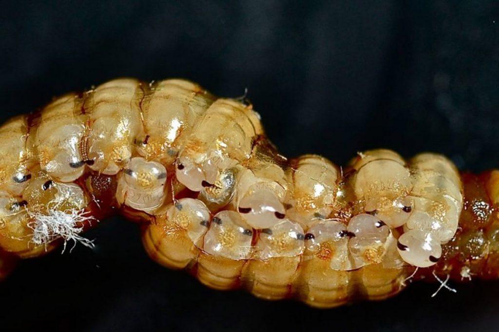 Личинки тараканов домашних личинки в оотеке