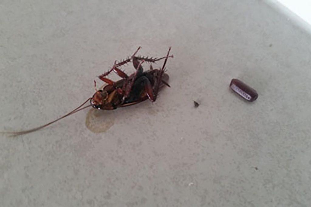 При какой температуре погибают тараканы и их яйца – методы воздействия низких и высоких температур для обработки зараженного помещения, понижение столбика до -5