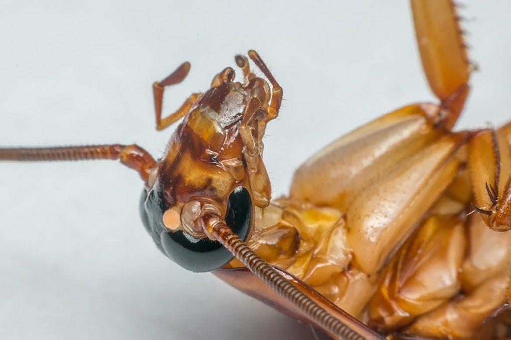 При какой температуре погибают тараканы и их яйца – методы воздействия низких и высоких температур для обработки зараженного помещения, воздействие высокой температурой