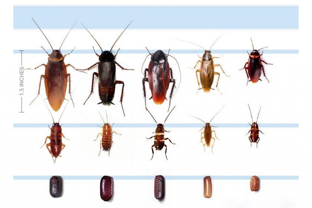Признаки присутствия тараканов виды