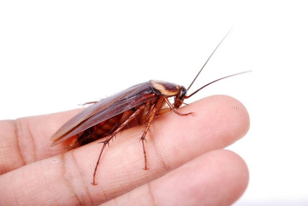Рыжий таракан прусак- как выглядит, причины появления в квартире, сколько живет, как избавиться раз и навсегда таракан вблизи строение