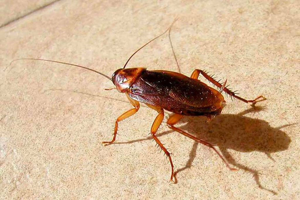 Рыжий таракан прусак- как выглядит, причины появления в квартире, сколько живет, как избавиться раз и навсегда строение и вблизи