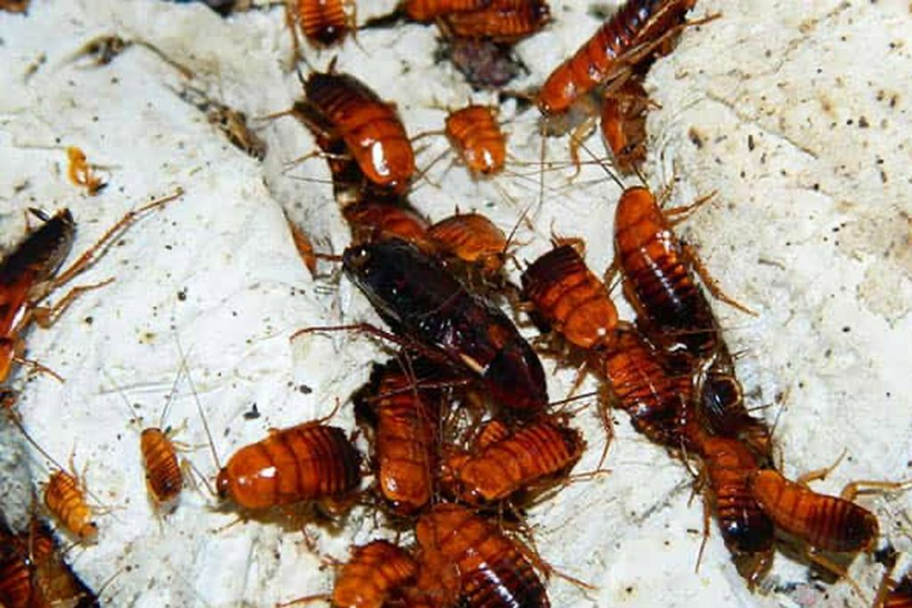 Рыжий таракан прусак- как выглядит, причины появления в квартире, сколько живет, как избавиться раз и навсегда передислокация тараканов