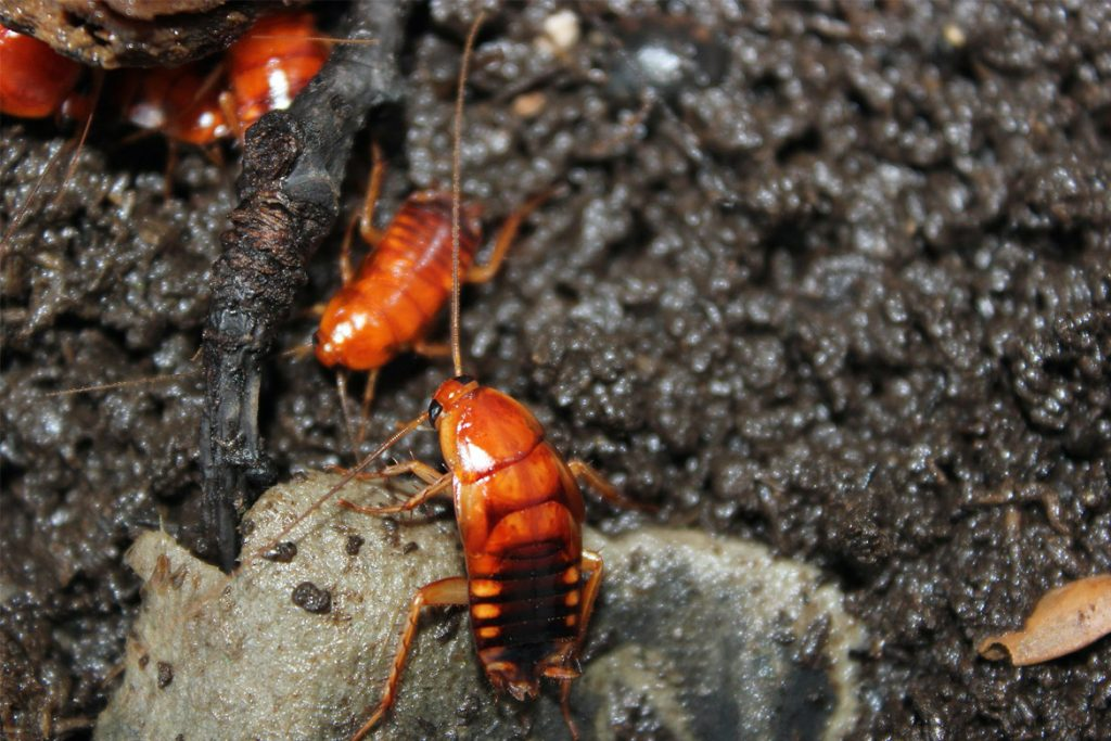 Рыжий таракан прусак- как выглядит, причины появления в квартире, сколько живет, как избавиться раз и навсегда вывод