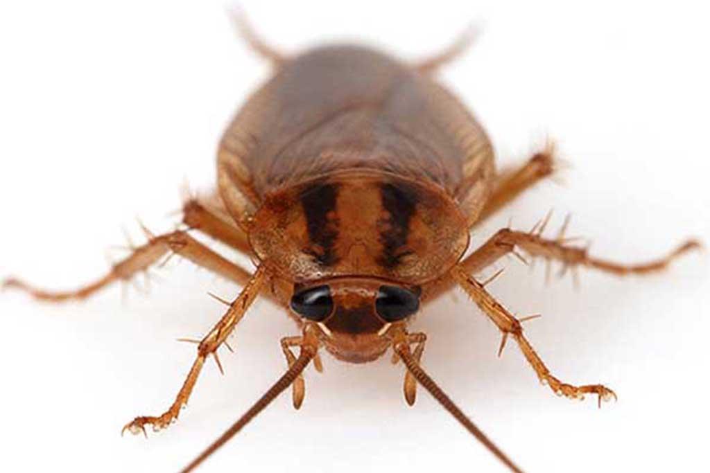 Рыжий таракан прусак - как выглядит