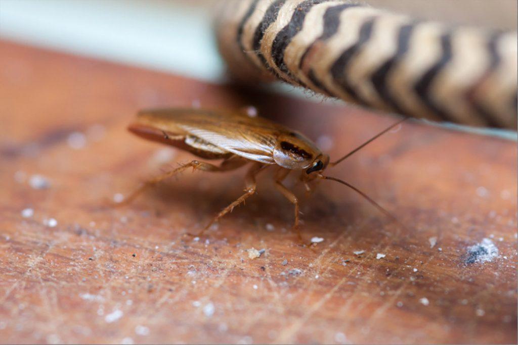 Таракан-разведчик в квартире таракан один