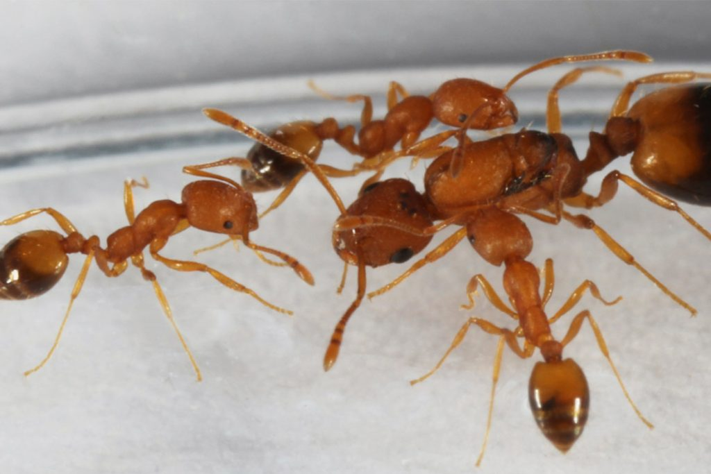 Тараканы исчезли из квартир фараонов муравьи