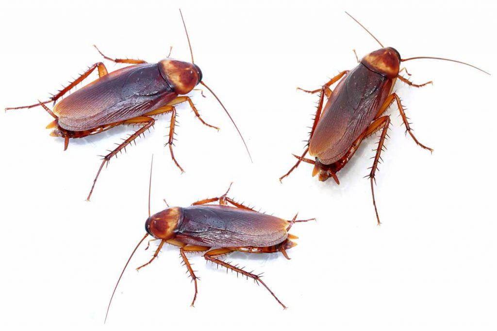 Тараканы на кухне – случайность или запущенность, что делать, если мелкие особи появились и бегают, как безопасно и эффективно избавиться от них, прусаки