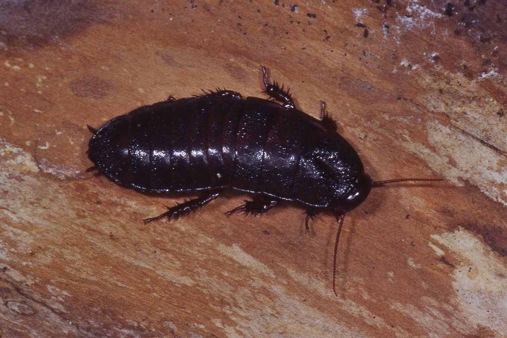 Тараканы на кухне – случайность или запущенность, что делать, если мелкие особи появились и бегают, как безопасно и эффективно избавиться от них, черный таракан
