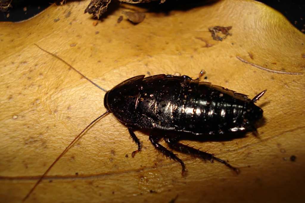 Тараканы от соседей – как заставить травить насекомых, куда жаловаться, образец заявлений, черный таракан