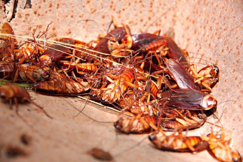 Тараканы после дезинсекции в квартире через сколько умирают, как себя ведут, через сколько исчезнут и почему стало больше, чем было. Этапы воздействия яда на насекомых, срок активного действия яда