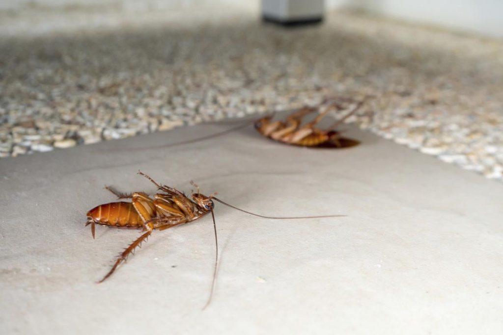 Тараканы после дезинсекции в квартире через сколько умирают, как себя ведут, через сколько исчезнут и почему стало больше, чем было. Этапы воздействия яда на насекомых