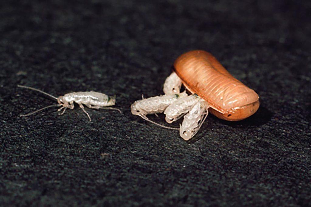 Тараканы после дезинсекции в квартире через сколько умирают, как себя ведут, через сколько исчезнут и почему стало больше, чем было. Этапы воздействия яда на насекомых, появление потомства