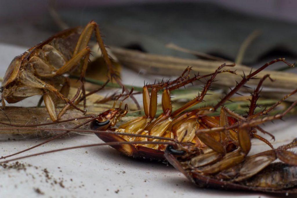 Тараканы после дезинсекции в квартире через сколько умирают, как себя ведут, через сколько исчезнут и почему стало больше, чем было. Этапы воздействия яда на насекомых, первый этап