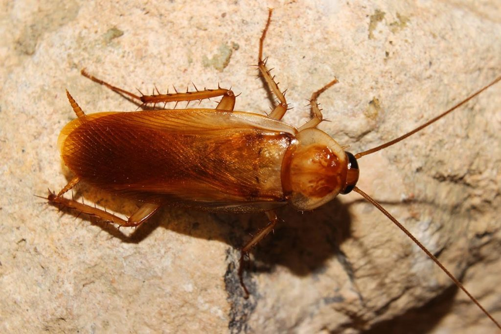 Тараканы в ванной комнате – откуда берутся, что делать и как эффективно избавиться от них, рыжая разновидность