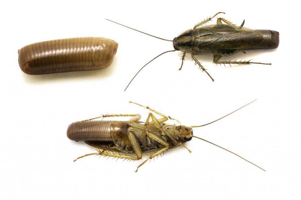 Тараканы в ванной комнате – откуда берутся, что делать и как эффективно избавиться от них, размножение