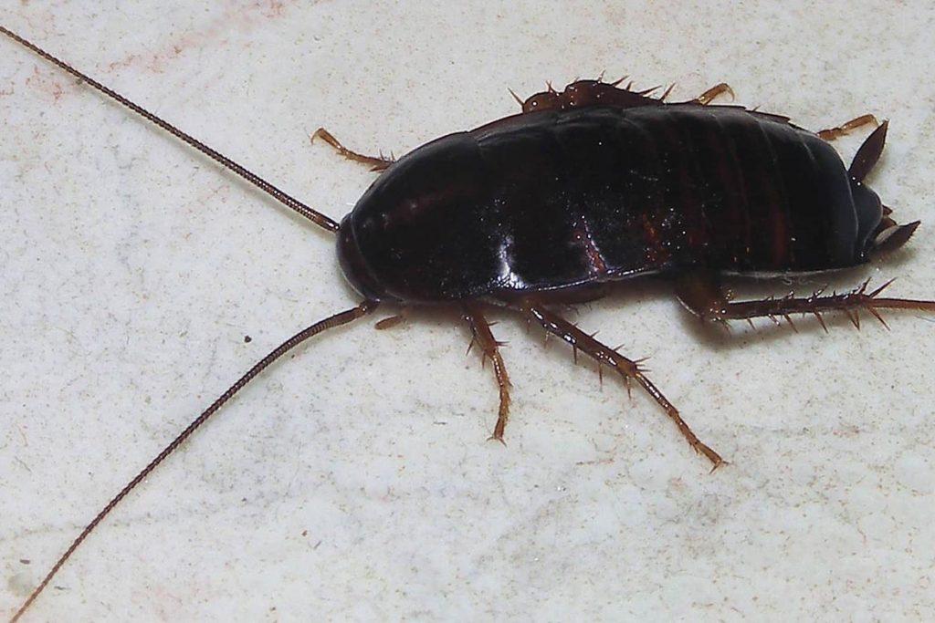 Тараканы в ванной комнате – откуда берутся, что делать и как эффективно избавиться от них, черный таракан