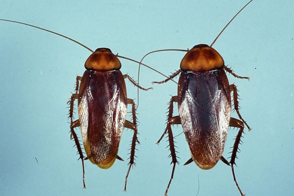 Фото американского таракана - сравнение с обычным домашним, размер, описание, рисунок 01