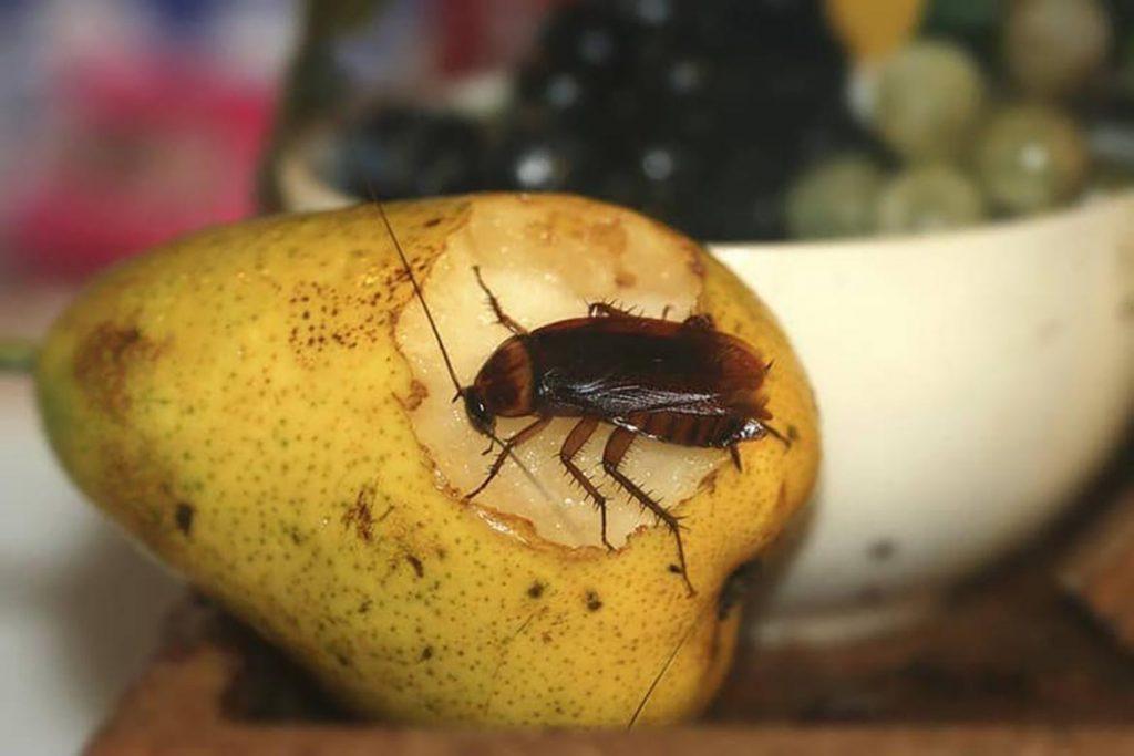 Фото американского таракана - сравнение с обычным домашним, размер, описание, рисунок 04