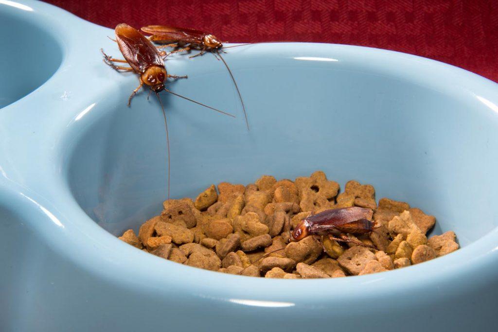 Фото американского таракана - сравнение с обычным домашним, размер, описание, рисунок 05