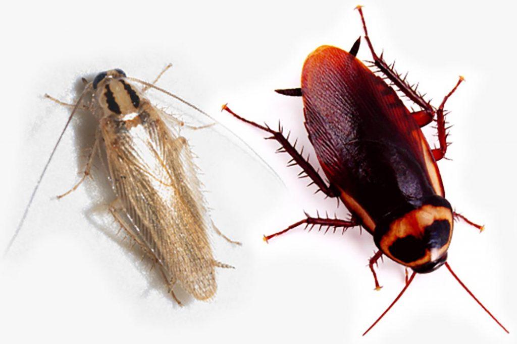 Фото американского таракана - сравнение с обычным домашним, размер, описание, рисунок 06