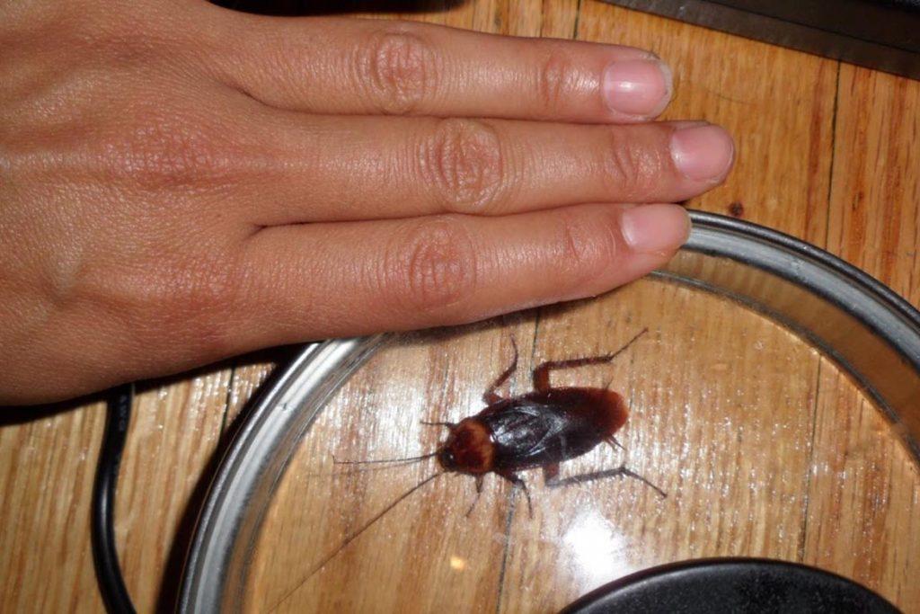 Фото американского таракана - сравнение с обычным домашним, размер, описание, рисунок 07