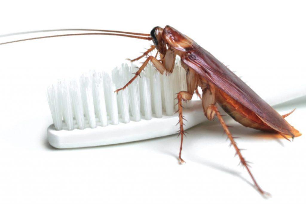 Фото американского таракана - сравнение с обычным домашним, размер, описание, рисунок 08