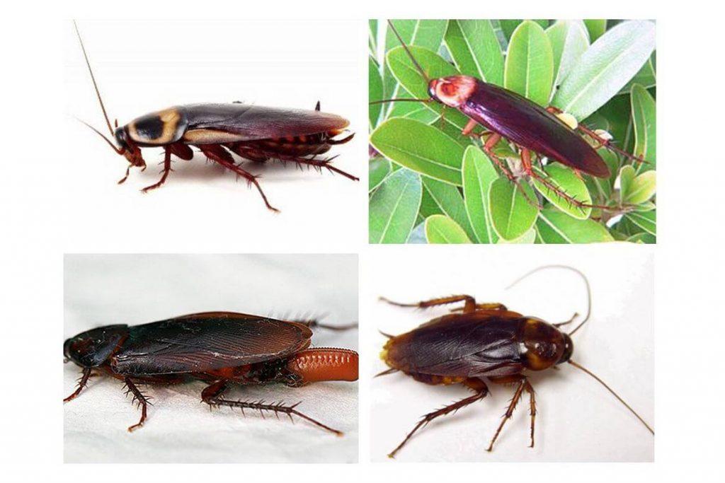 Фото американского таракана - сравнение с обычным домашним, размер, описание, рисунок 09