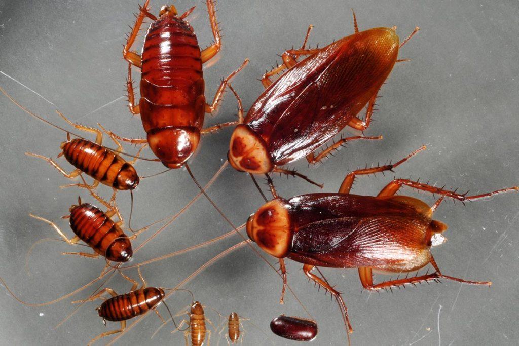 Фото американского таракана - сравнение с обычным домашним, размер, описание, рисунок 10