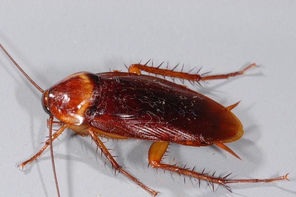 Фото американского таракана - сравнение с обычным домашним, размер, описание, рисунок