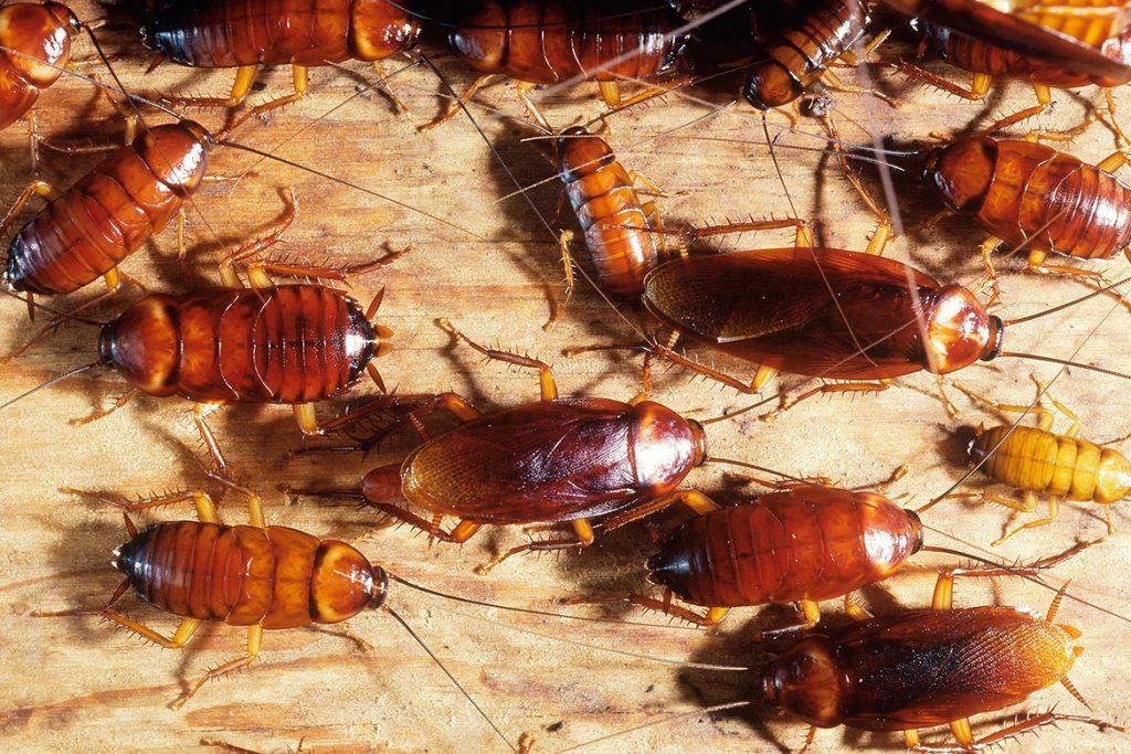 Фото американского таракана - сравнение с обычным домашним, размер, описание, рисунок 11