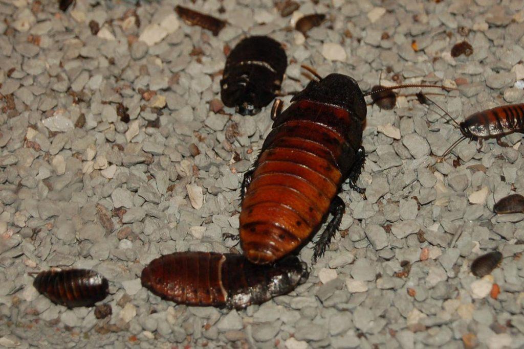 Фото мадагаскарского шипящего таракана - фотографии, рисунки 03