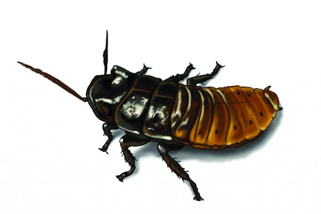 Фото мадагаскарского шипящего таракана - фотографии, рисунки 10