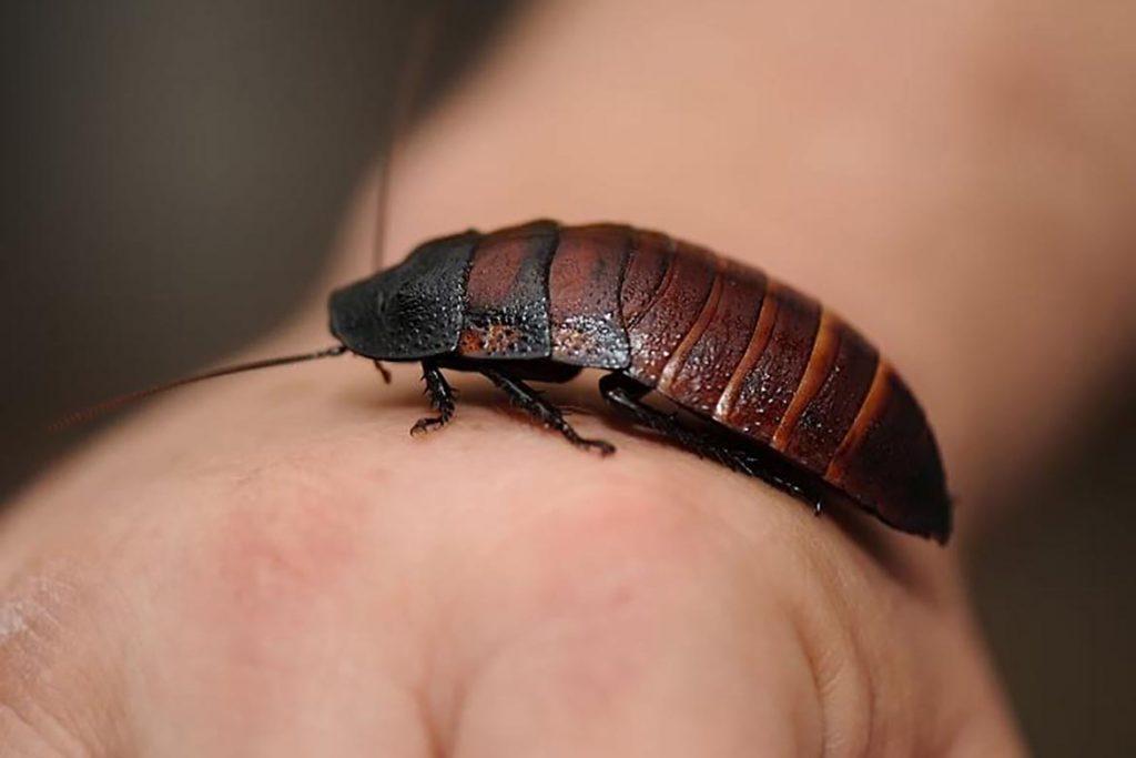 Фото мадагаскарского шипящего таракана - фотографии, рисунки 11