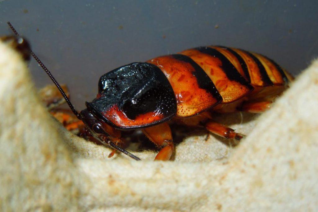 Фото мадагаскарского шипящего таракана - фотографии, рисунки 13