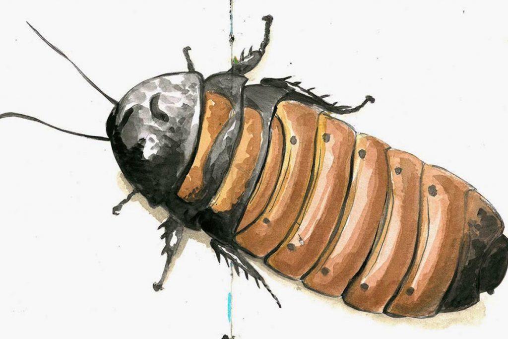 Фото мадагаскарского шипящего таракана - фотографии, рисунки 14