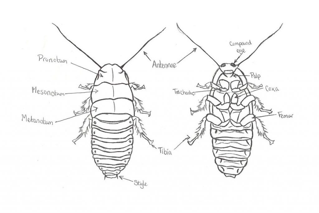 Фото мадагаскарского шипящего таракана - фотографии, рисунки 15