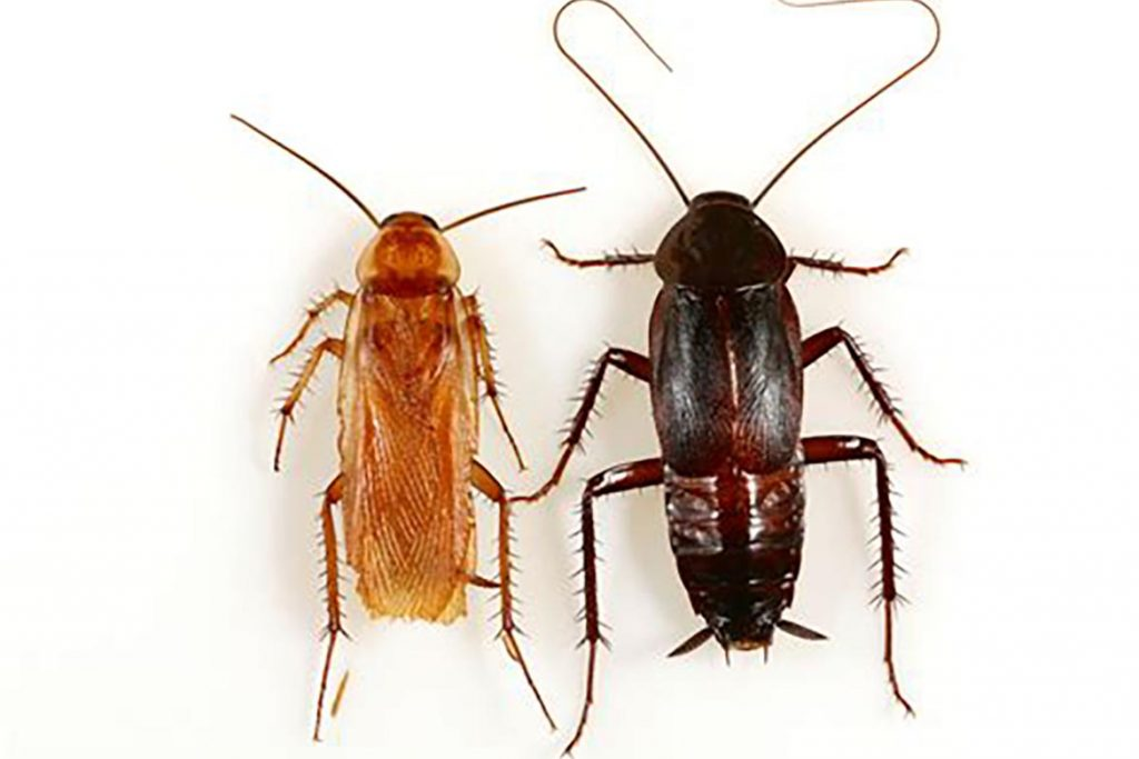 Фото таракана - как выглядят маленькие,большие, огромные, белые, чёрные, рыжие и их яйца,и личинки, виды и разновидности насекомых, экзотические - мадагаскарский, американский и другие 24