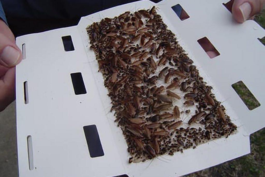Ловушка для тараканов Аргус (Argus) – средство на клеевой основе, инструкция по применению, отзывы об использовании, преимущества и недостатки