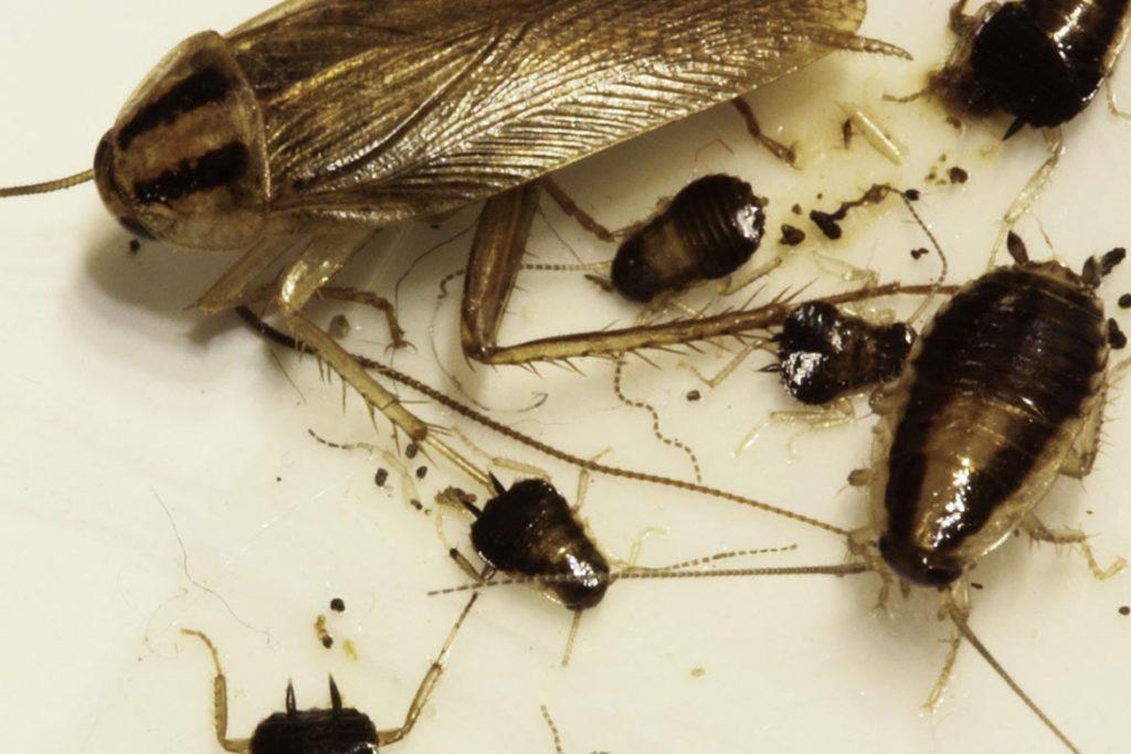 Ловушка для тараканов Аргус (Argus) – средство на клеевой основе, инструкция по применению, отзывы об использовании, универсальное средство